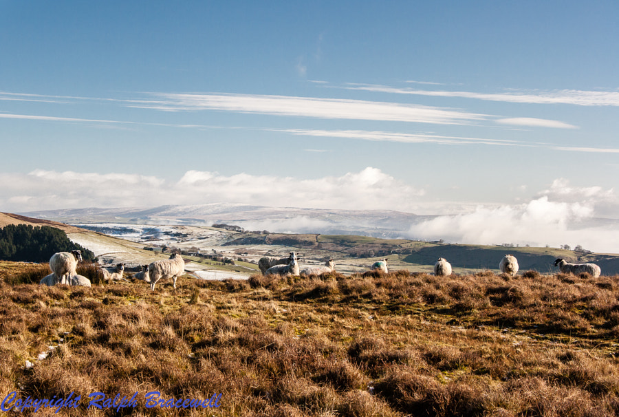 Sheep on Pendle Hill