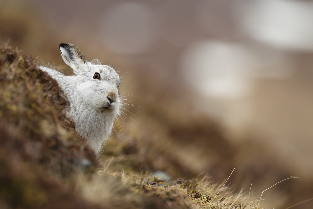 Photograph Peeking Hare by Luke Massey on 500px