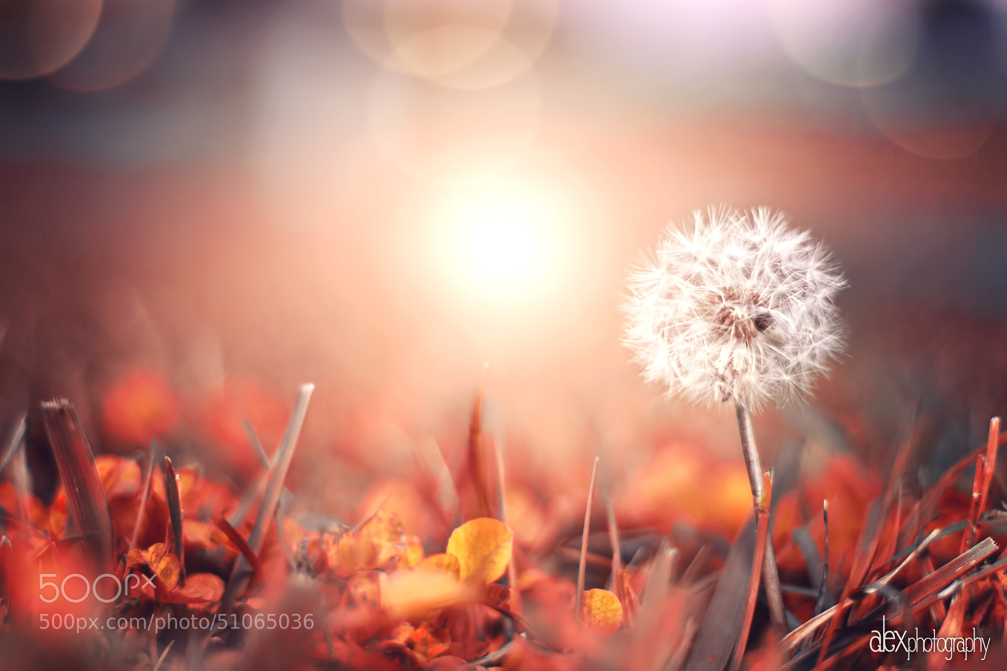 Photograph The last dandelion standing by Alex Kie on 500px