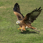 Red Kite with an angled swoop for carian