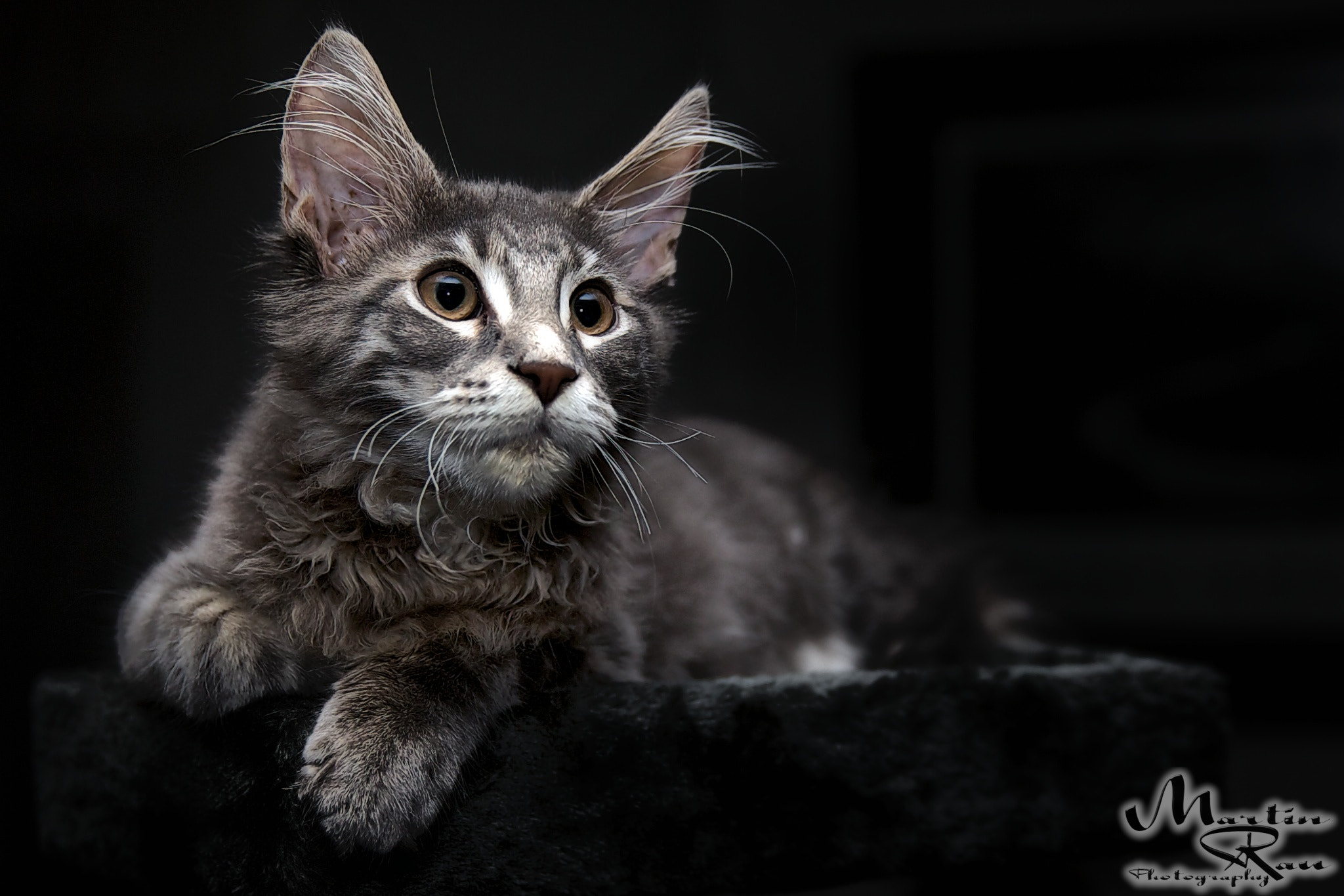 Photograph Maine Coon Kitten by Martin Rau on 500px