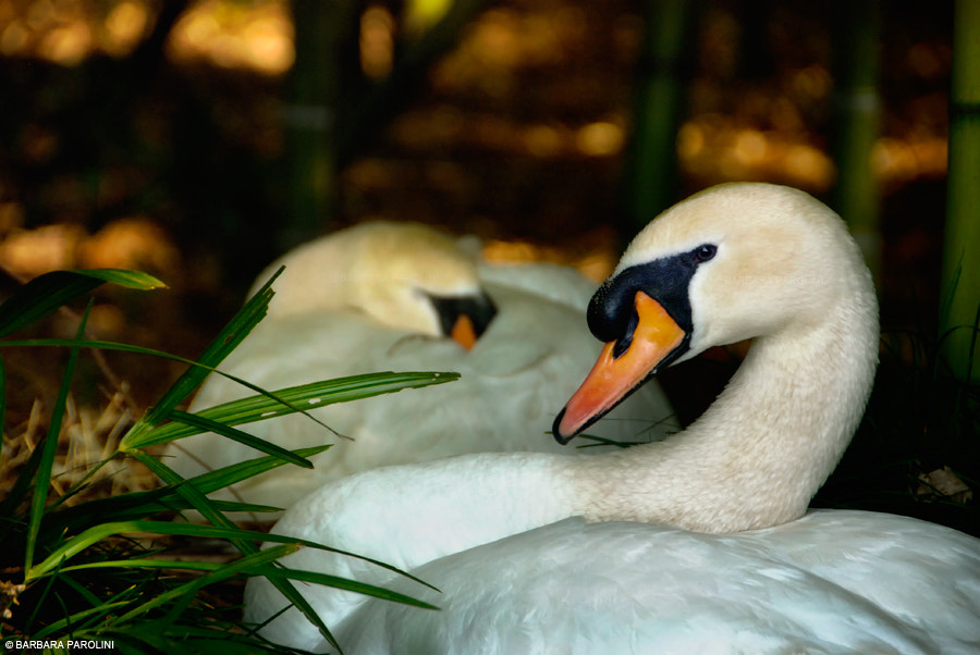 Photograph Swan nest by Barbara Parolini on 500px