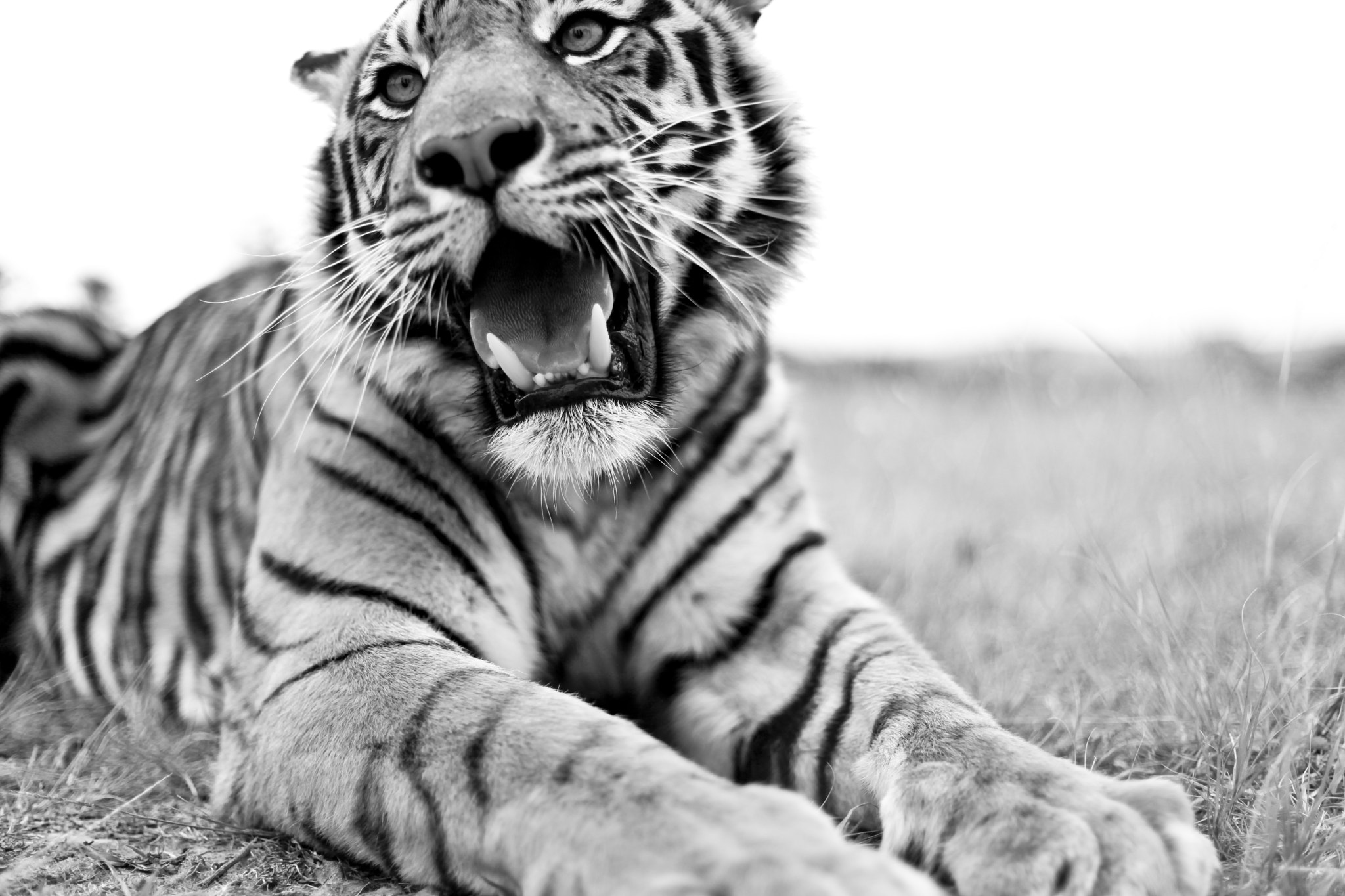 Photograph TIA - Tiger by Travis Silva on 500px