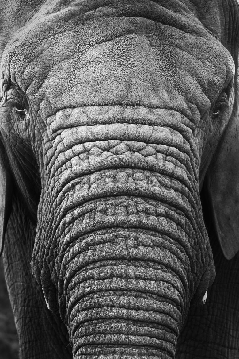 Photograph Elephant by Steven Biseker on 500px