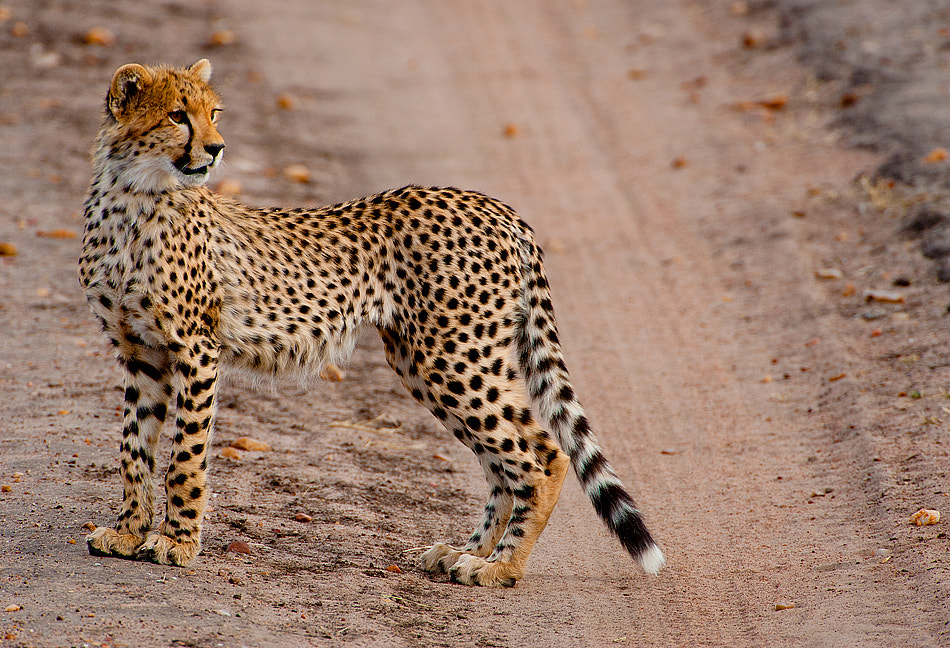 Photograph Portrait of a Cheetah by Aubrey Stoll on 500px