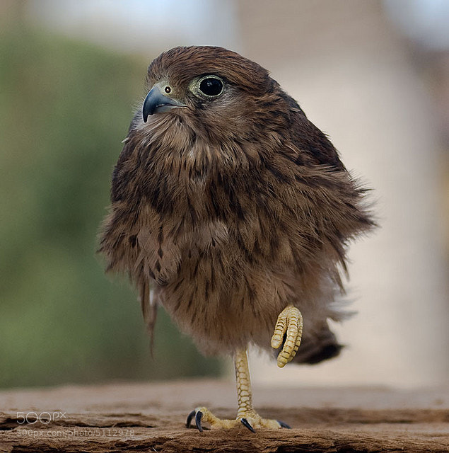 Photograph bird balancing by mazouz abdelaziz on 500px