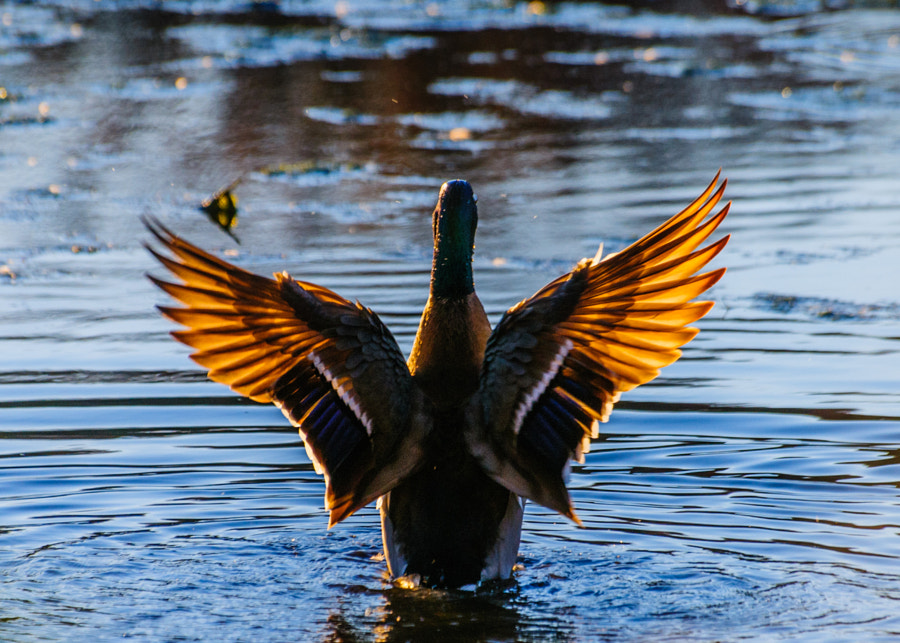 Just as I was thinking to move because of the sun setting in front of me and there wasn't great light the duck washed itself and raised up to throw the water off it's wings, giving me a wonderful shot.