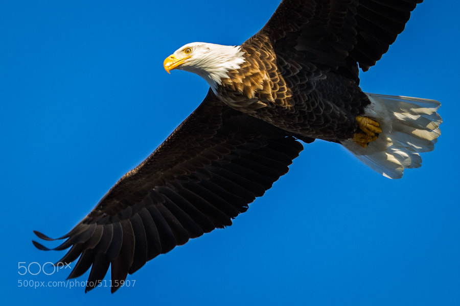Photograph Up Close and Personal with Bald Eagle by Jeff Goldberg on 500px