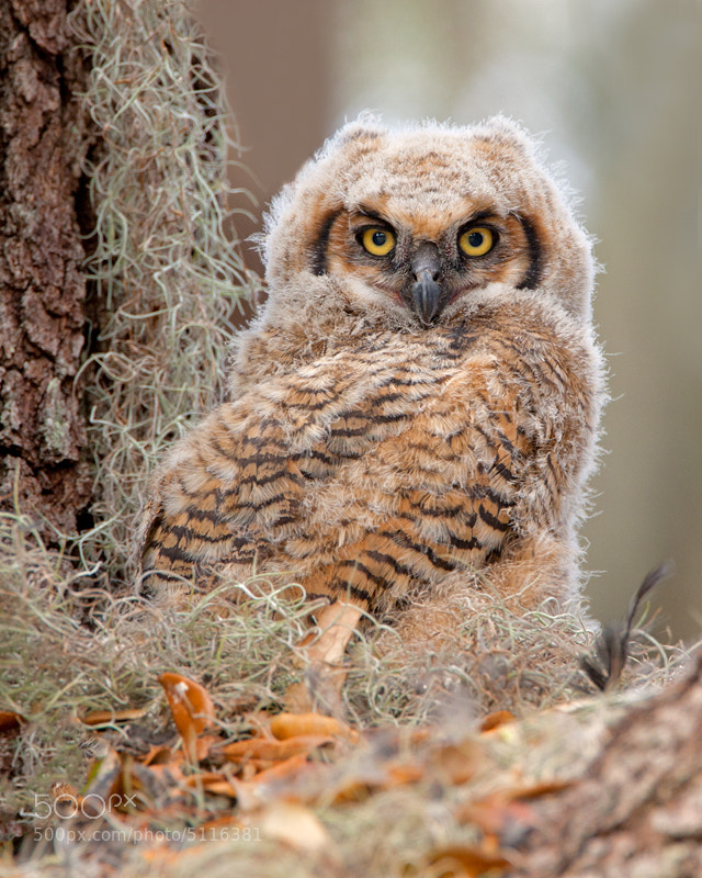 Photograph Great Horned Owlet by Mike  Tracy on 500px