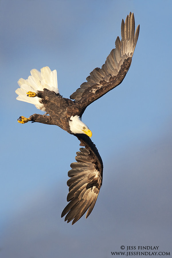 Photograph Bald Eagle Banking by Jess Findlay on 500px
