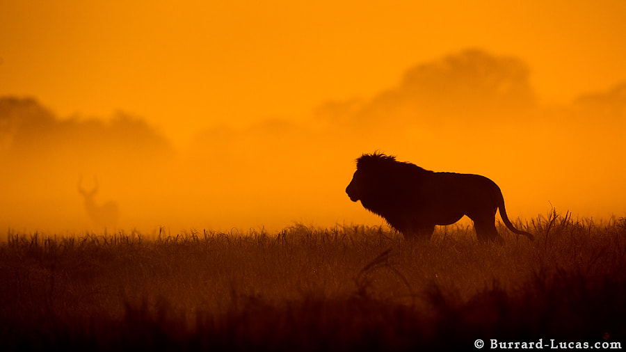 Here's a photo of the spectacular male lion of Busanga (Kafue NP, Zambia). I took this silhouette shortly after sunrise, while the plains were still blanketed in mist.