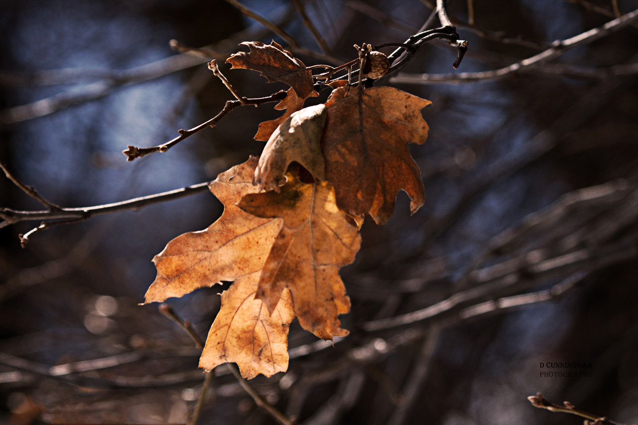 Photograph Winter Leaves With Buds on Branches by Dorothy Cunningham on 500px