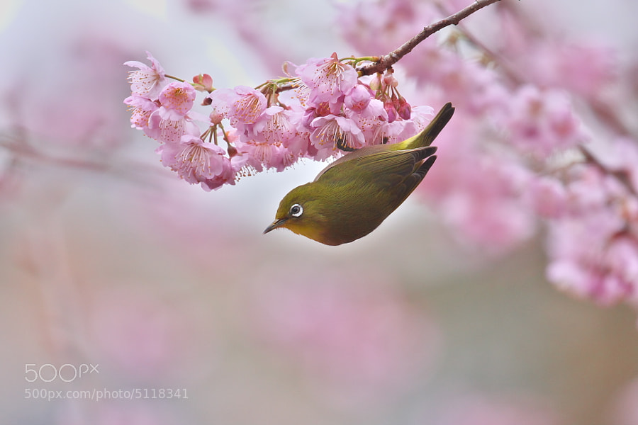 Photograph Spring has come by Kaz Watanabe on 500px