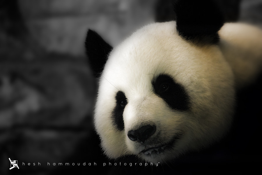 Photograph Panda by Hesh Hammoudah on 500px