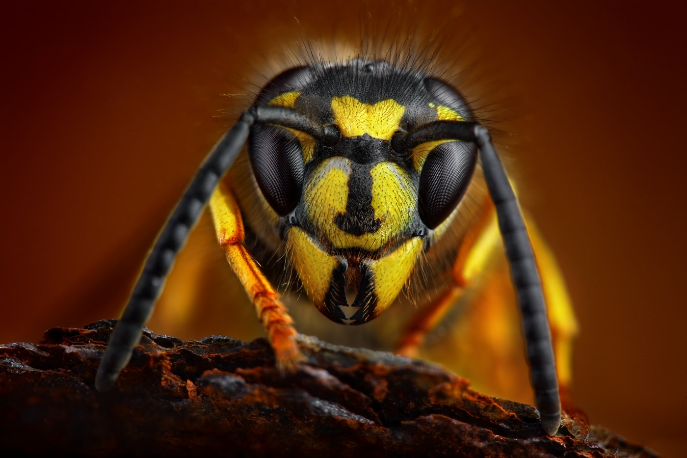 Photograph Wasp by Tomas Rak on 500px