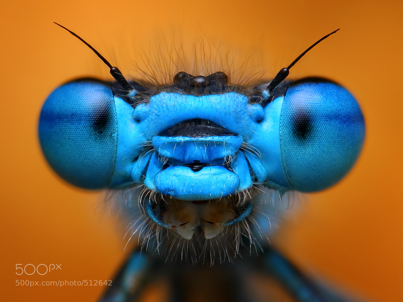 Photograph Blue damselfly by Tomas Rak on 500px