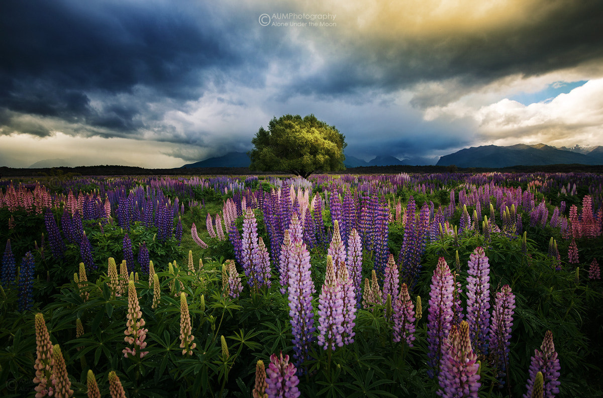 Photograph Lupin Flower by Kongkrit Sukying on 500px
