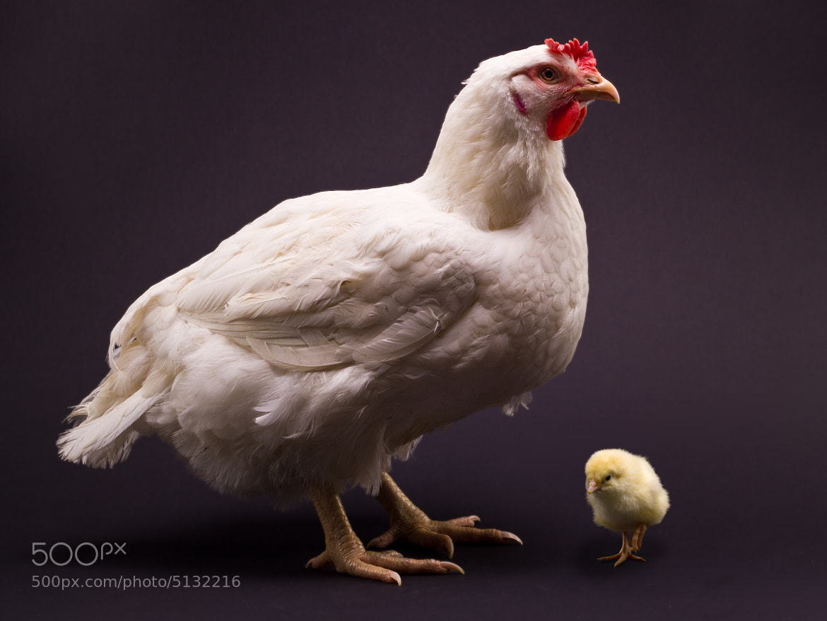 Photograph A mothers pride by Mark Faulkner on 500px