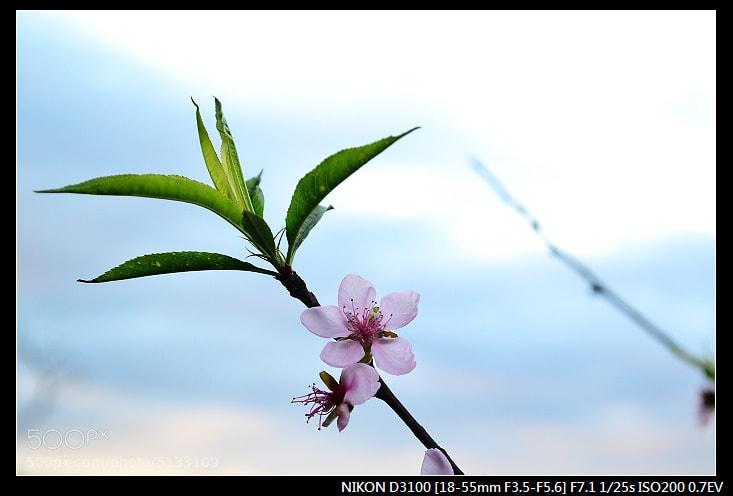 Photograph 唯一的一朵櫻花 by Jackel eclipse on 500px