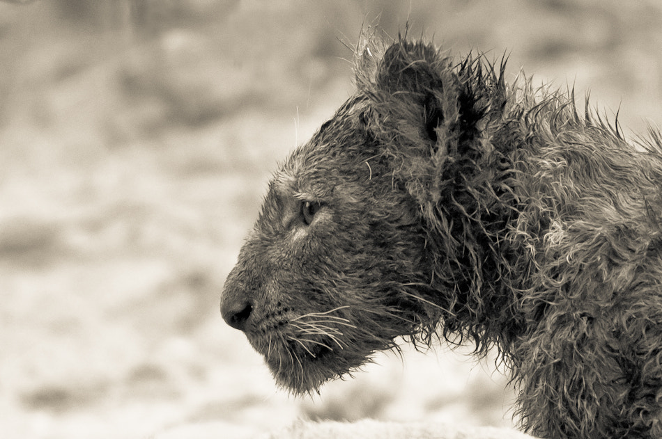Photograph Wet Cub by Mohammed Alnaser on 500px