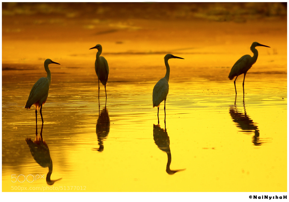 Photograph Egrets in gold by Syed Hussnain Raza on 500px