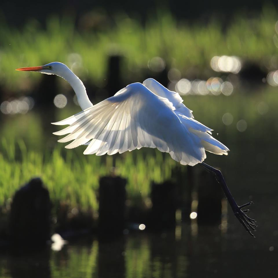 Photograph Great Egret by kunito1228 on 500px
