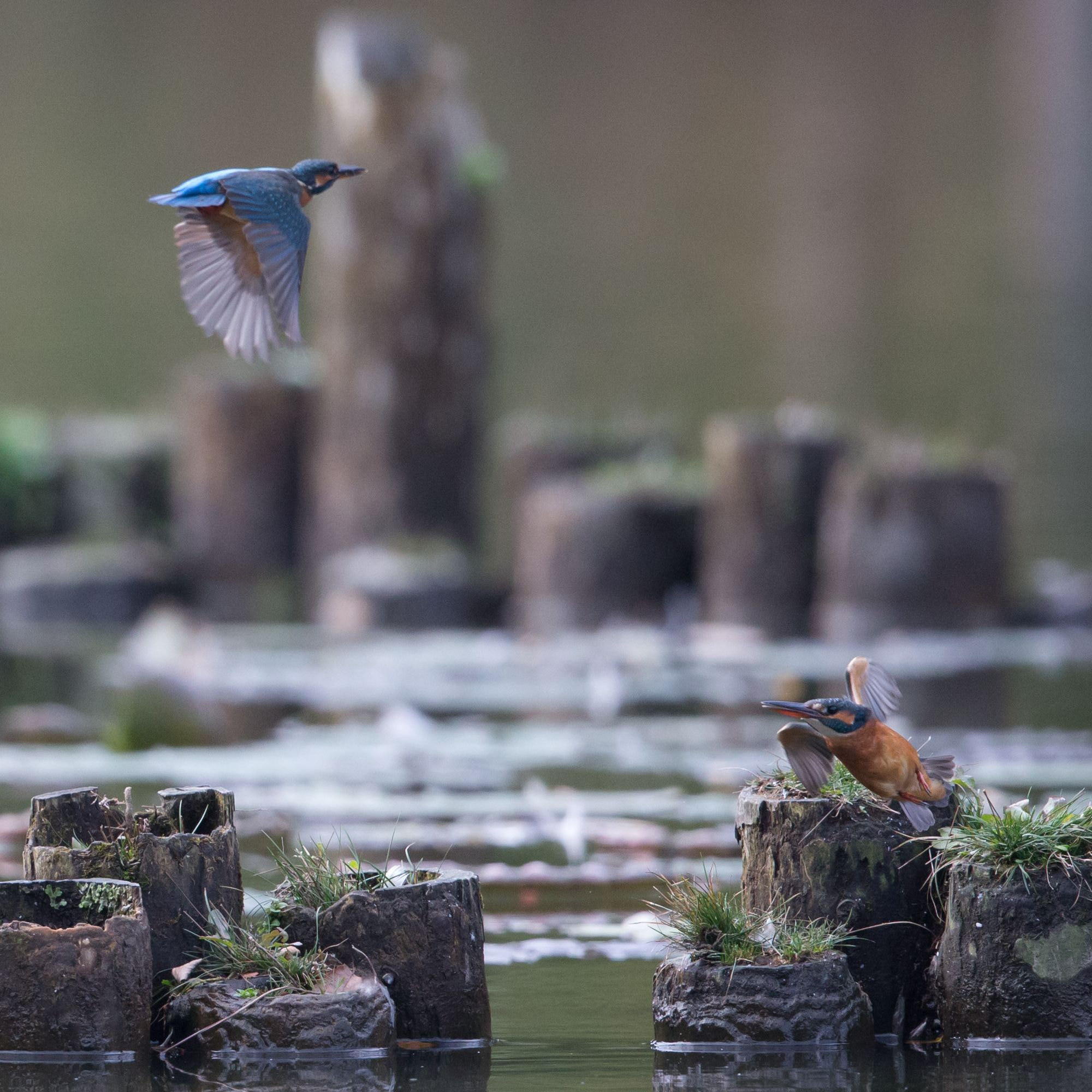 Photograph Common Kingfishers by kunito1228 on 500px