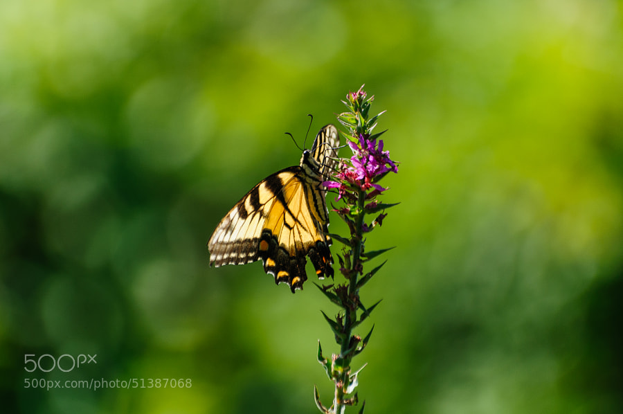 Once the butterfly had settled on the flower it ever so slowly began its' climb to the top.  It even allowed me to move where to better light .
