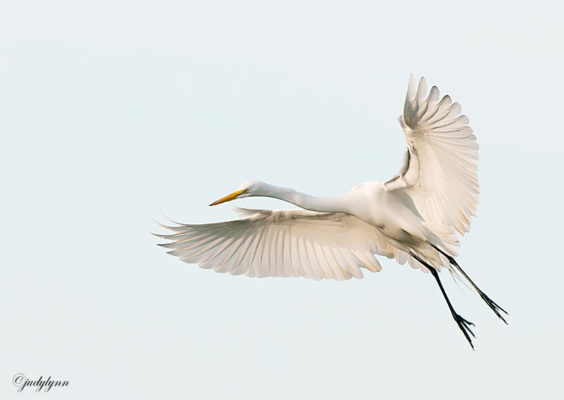 This image was taking this week over on  the west coast of Florida.  The egrets were busy courting and building their nests.  The evenings were a wonderful time to capture them when they were coming in to roost.