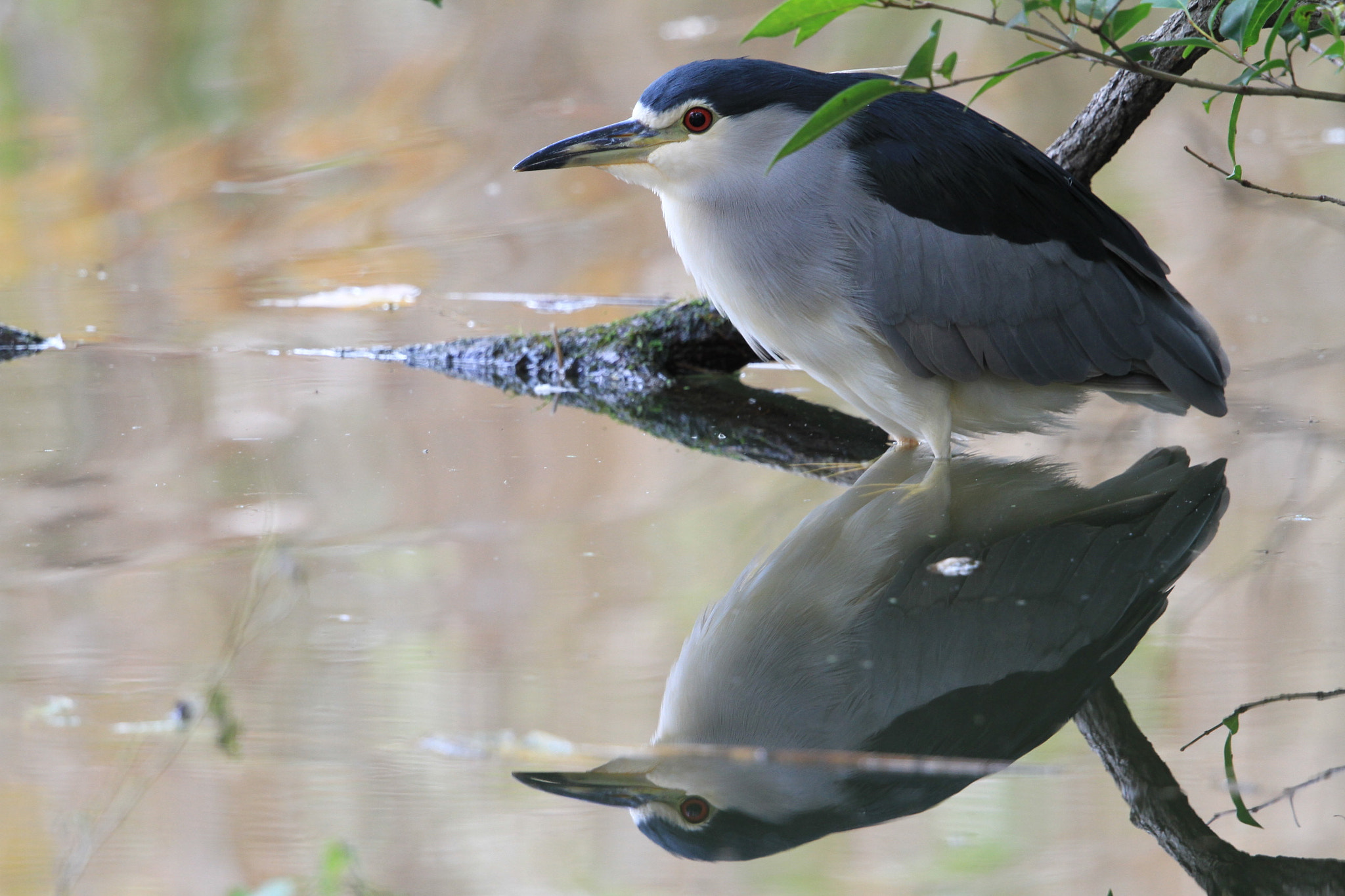Photograph Night Heron by kunito1228 on 500px