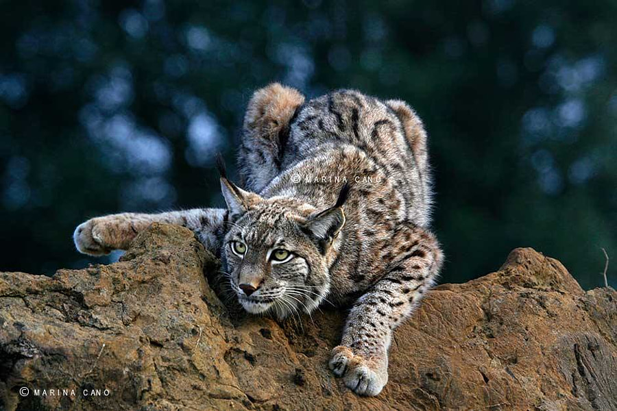 Photograph LYNX by Marina Cano on 500px