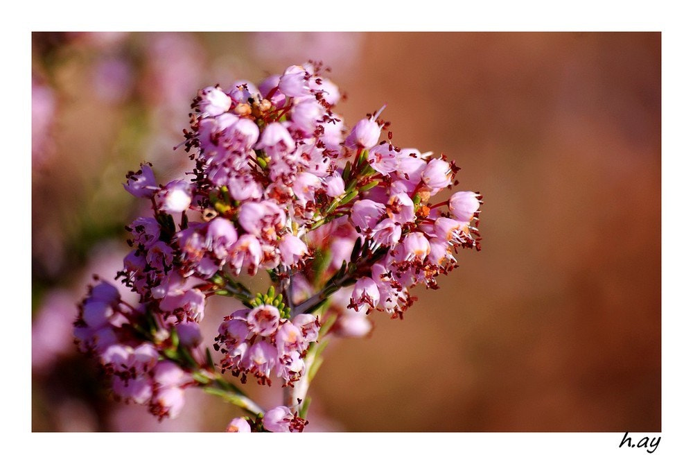 Photograph Erica manipuliflora  by HUSEYIN AY on 500px