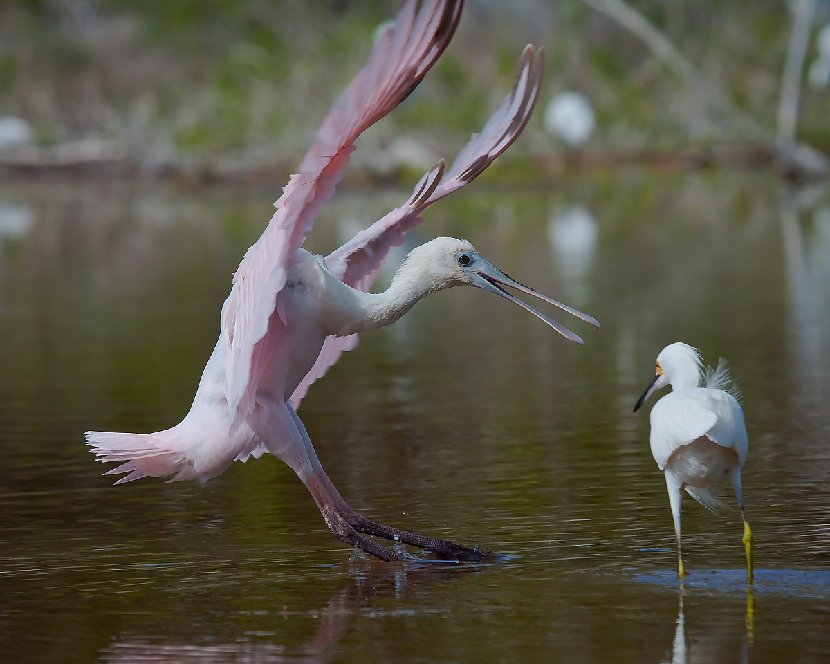 Photograph Baby Spoonbill by Miguel Angel Leyva on 500px