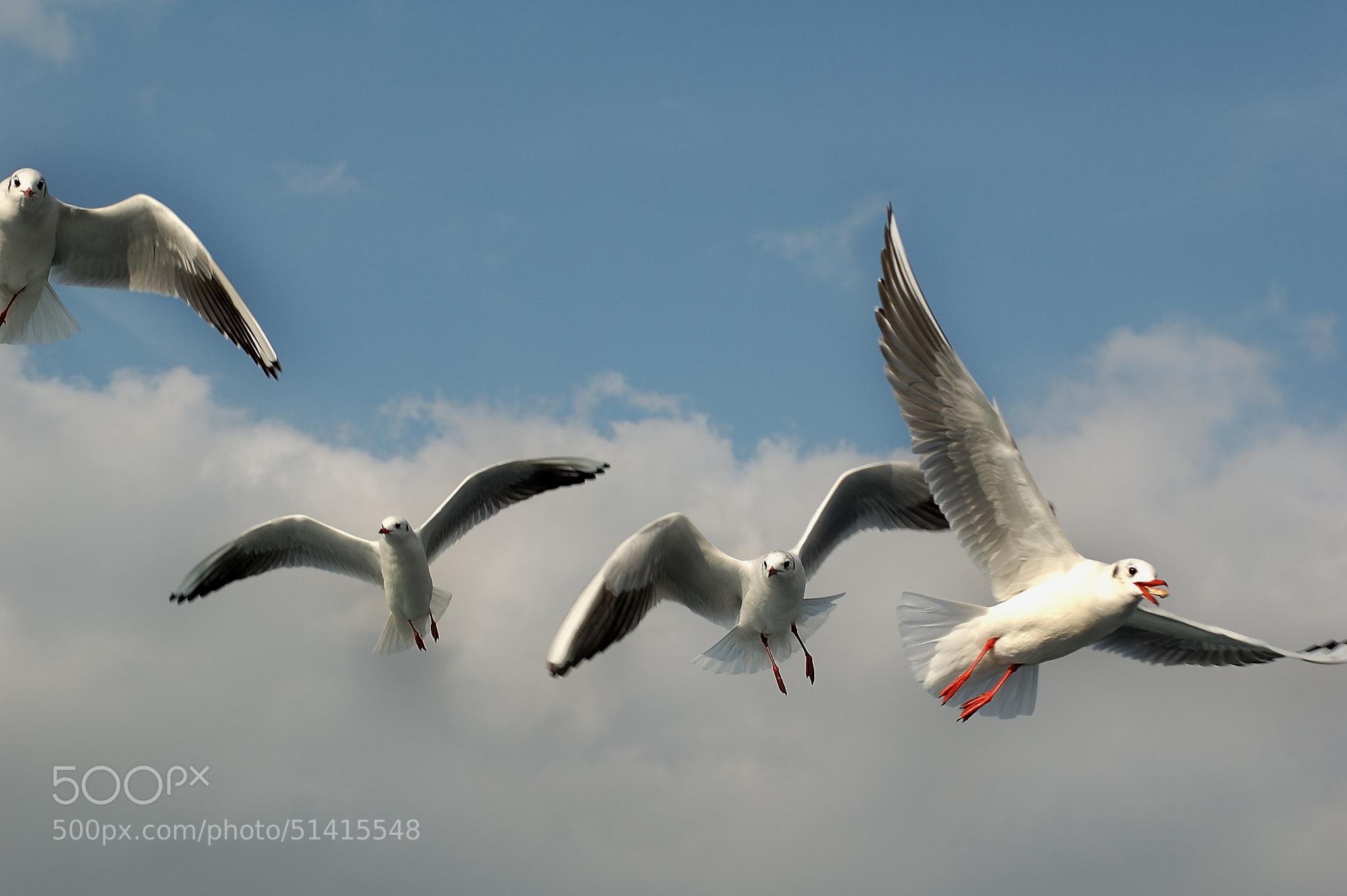 Photograph istanbuls seagulls by Atalay Karacaorenli on 500px