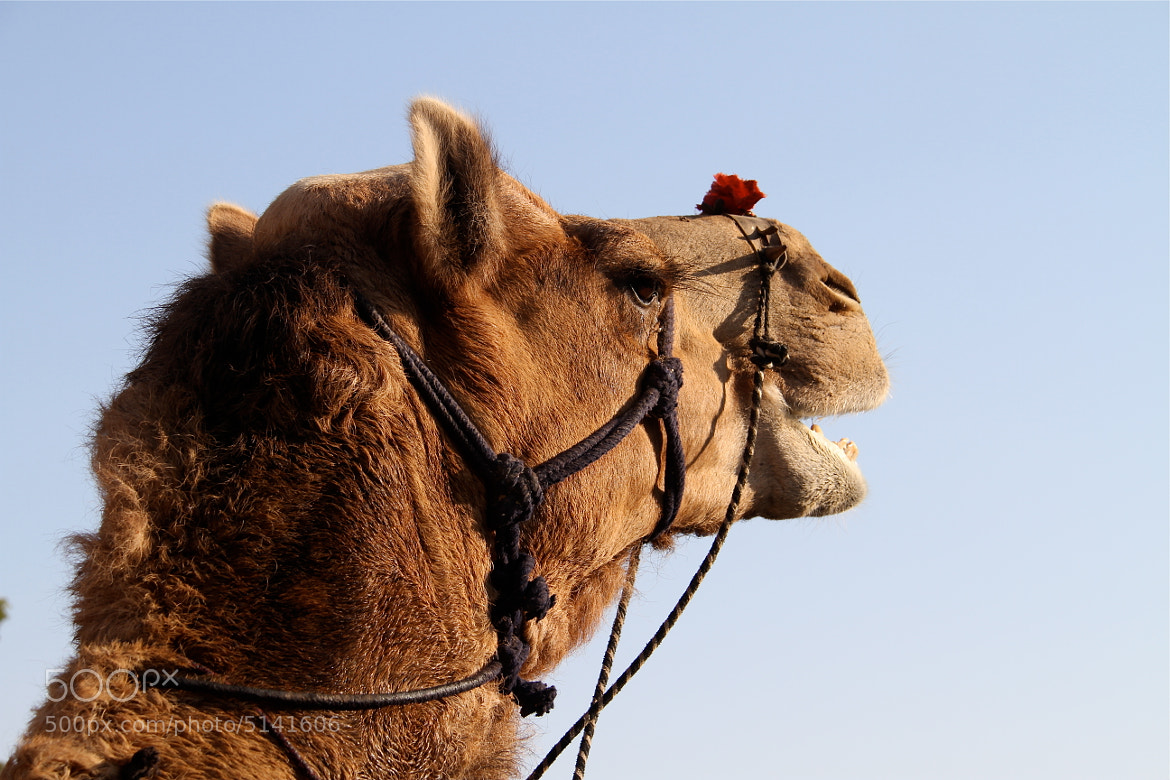 Photograph camel by supavadee butradee on 500px