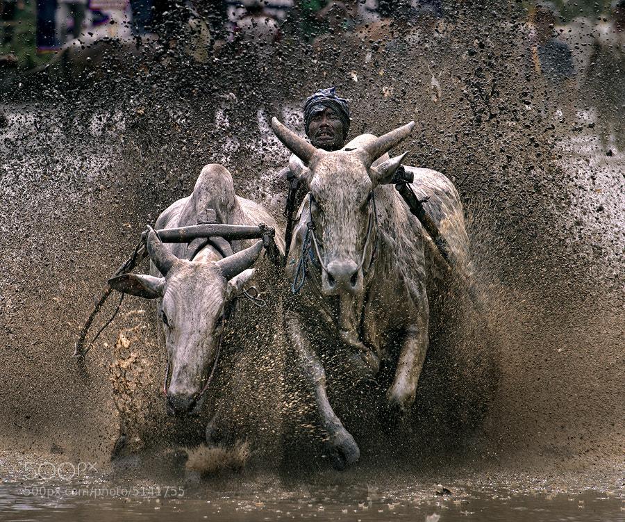 Photograph Catch Big Ox by Jose Hamra on 500px