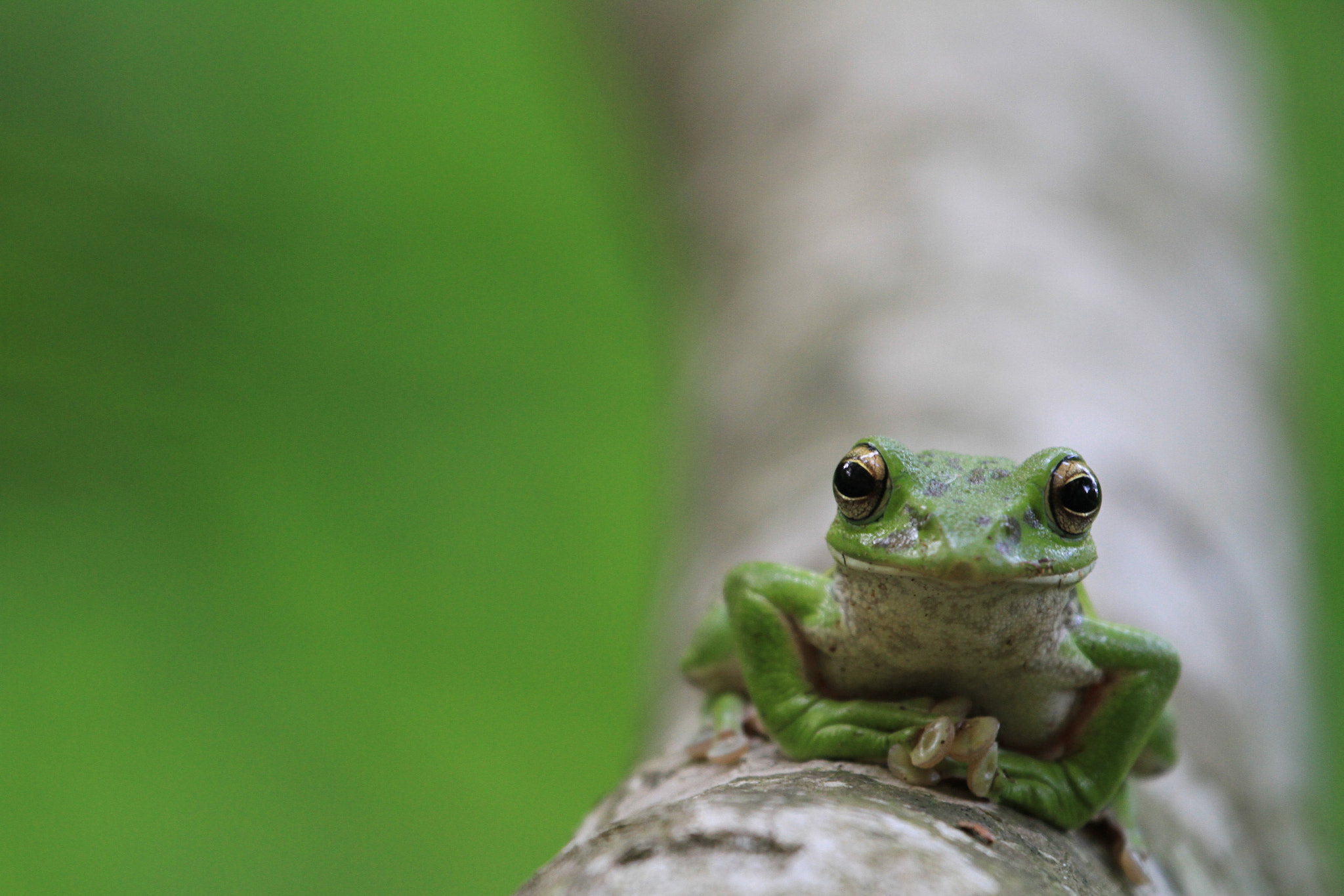 Photograph Forest Green Tree Frog by kunito1228 on 500px