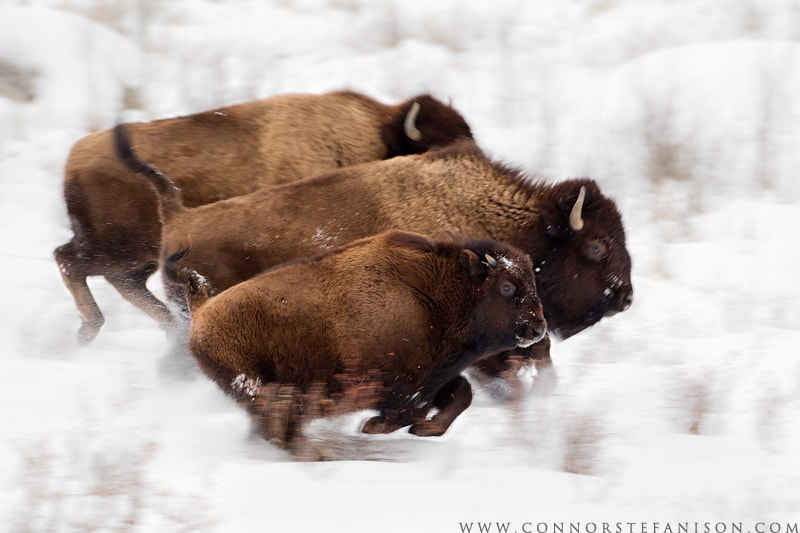 Photograph Bison Dash by Connor Stefanison on 500px