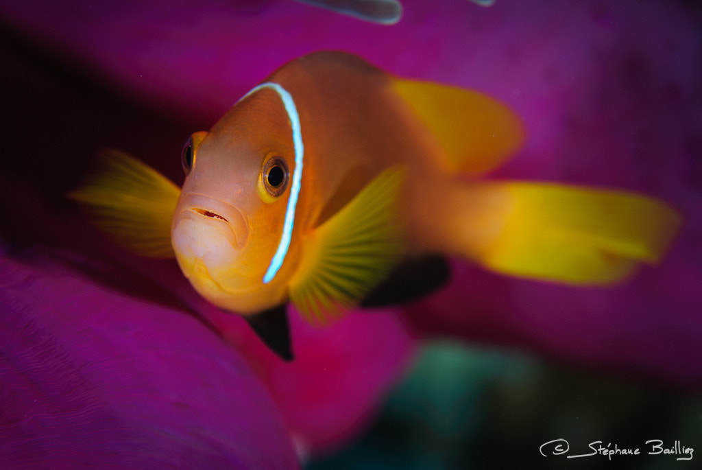 Photograph Blackfinned anemonefish by Stephane Bailliez on 500px