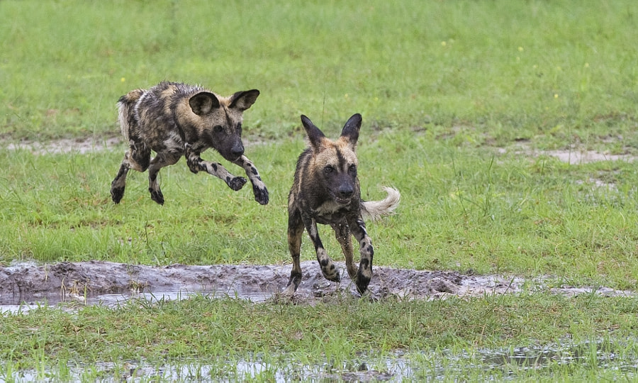 Wild Dog youngsters enjoy their afternoon romp, in Kwando concession, Botswana