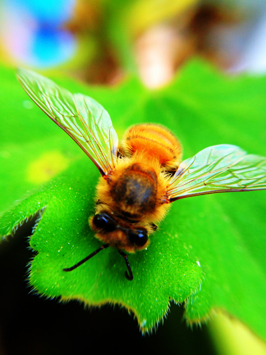 Photograph The Bee by Zayda Salazar on 500px
