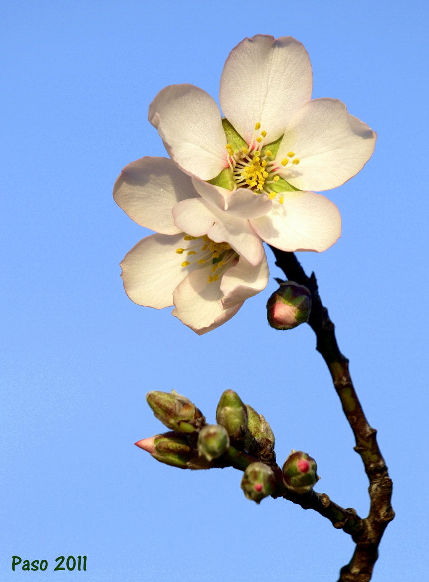 Photograph Flor del Prunus dulcis by Oly_21 on 500px
