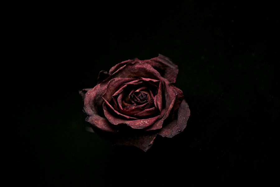 Rose by Min Zhang on 500px.com