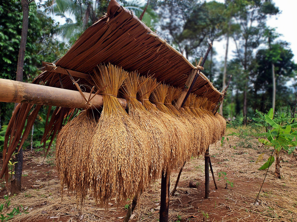 Photograph dried paddy (Baduy series 6) by Irawan Subingar on 500px