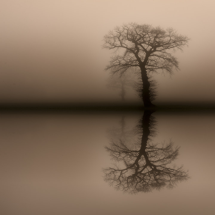 English Oaks reflected in a flooded wheat field surrounded by early morning mist.