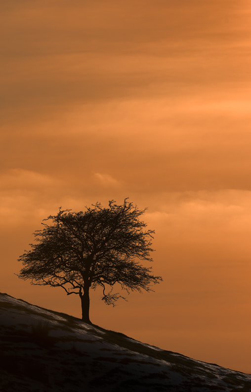 A solitary hawthorn bush clings to a north-facing slope in the Peak District National Park.