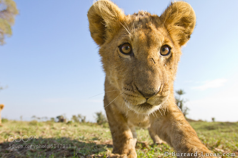 """A preview image from the return of <strong><a href=""""http://blog.burrard-lucas.com/2012/02/beetlecam-is-back-teaser/"""">BeetleCam</a></strong>... this cheeky young cub was about to cause some trouble! If you haven't seen the new BeetleCam teaser video yet, watch it here: <a href=""""http://blog.burrard-lucas.com/2012/02/beetlecam-is-back-teaser/"""">BeetleCam is Back Teaser</a>"""