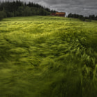 A shot from Norway in the summer of 2011. Wheat crop waving in the wind.