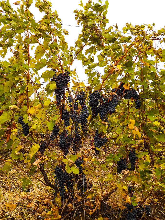 Autumn sensation with a Merlot vine by Aurelian Lupu on 500px.com