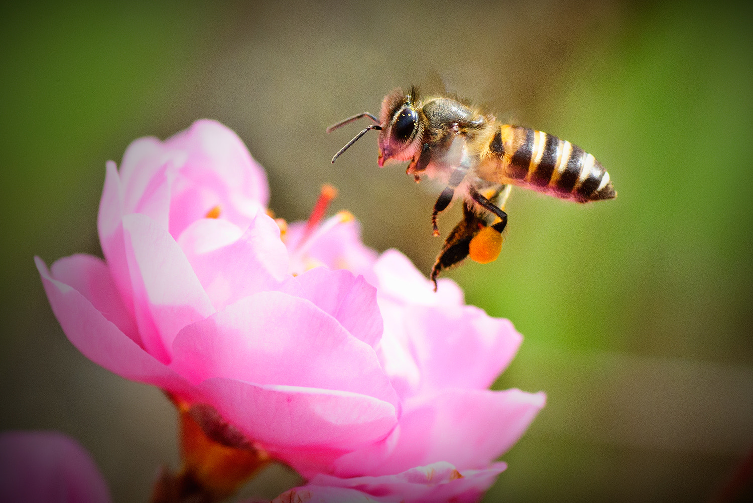 Photograph Bee with Peach Blossom by JAKKRIT IMLIMTHAN on 500px